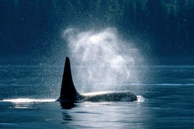 20 Tage Orcas, Grizzlybären und Inside Passage