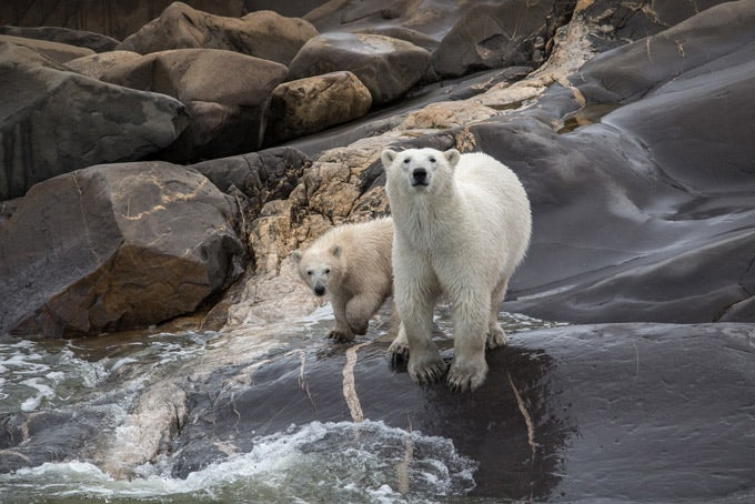 7 Tage Belugawale und Eisbären im Sommer in Manitoba