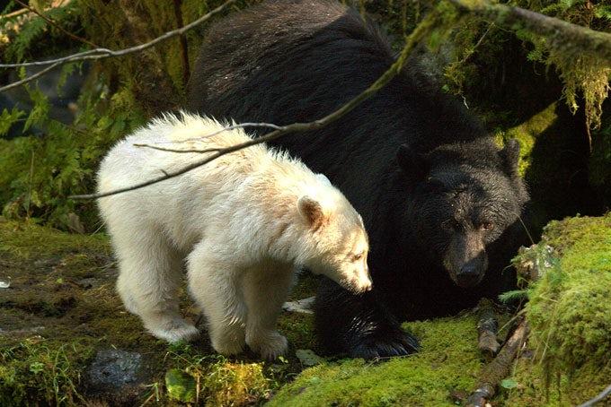 Grizzly und Spirit Bear Viewing in der Spirit Bear Lodge