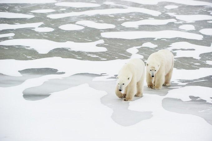 6 Tage Eisbären im Herbst in der Hudson Bay