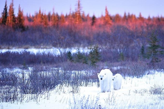 11 Tage Lodge Safari zu den Eisbären in der Hudson Bay