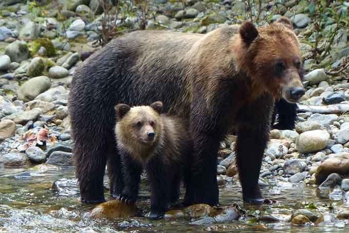 Grizzly Bären im Toba Inlet - Homfray Lodge