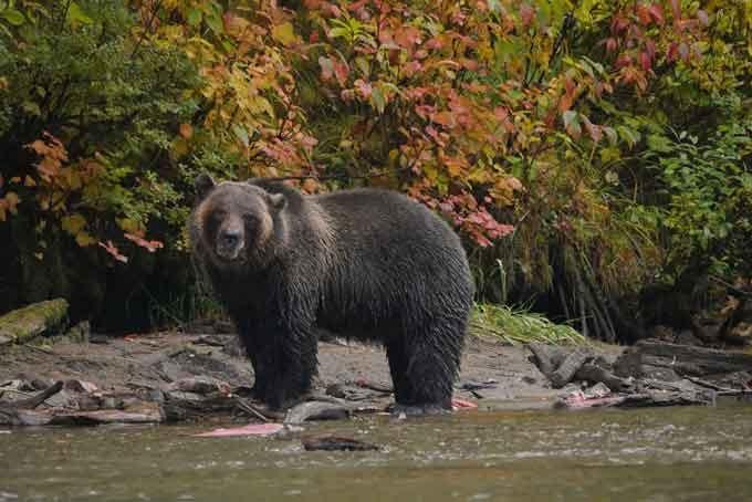 Grizzlybären beobachten in der Pyna-Tee-Ah Lodge